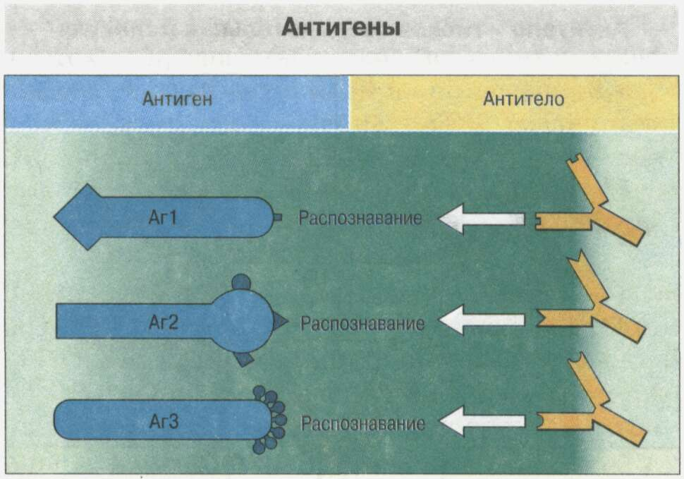 Общие сведения об иммунной системе Рис. 11