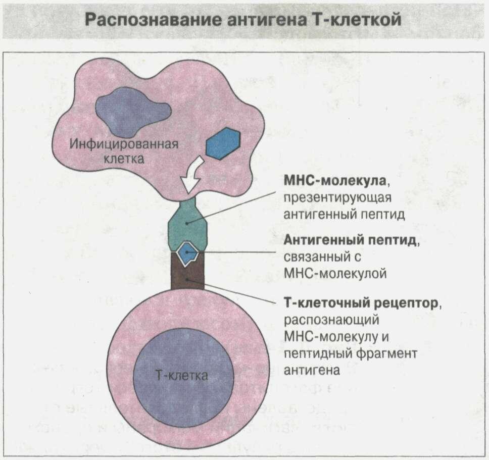 Общие сведения об иммунной системе Рис. 12