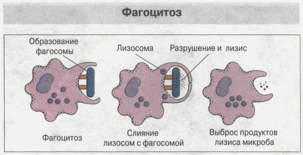 Общие сведения об иммунной системе Рис. 15