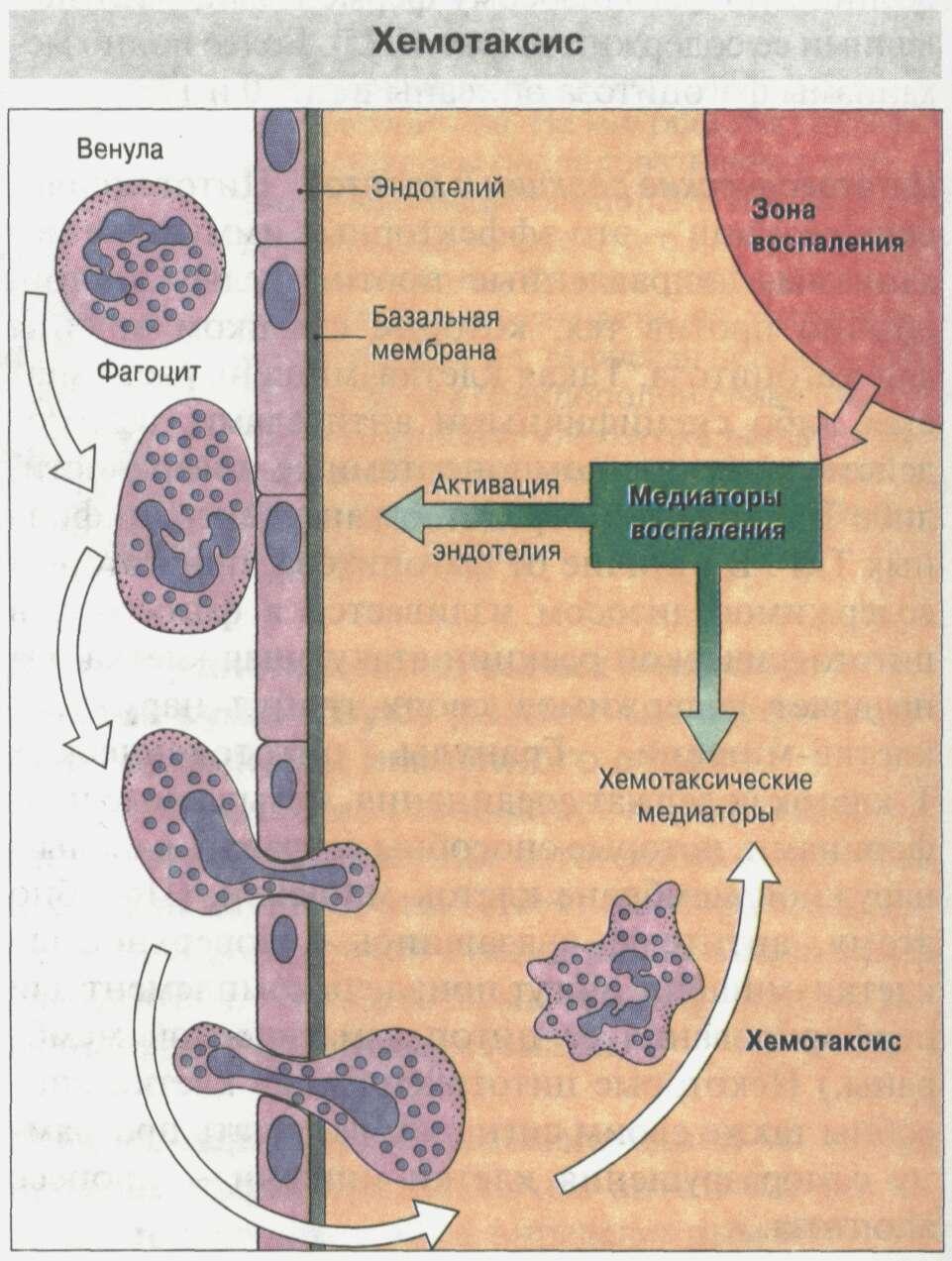 Общие сведения об иммунной системе Рис. 17