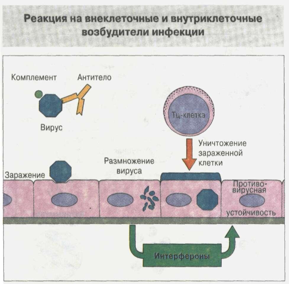 Общие сведения об иммунной системе Рис. 18