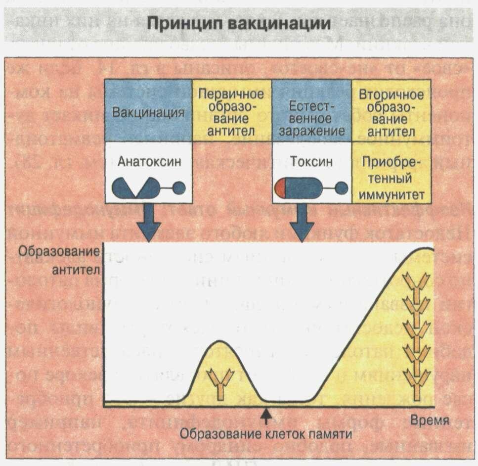 Общие сведения об иммунной системе Рис. 19
