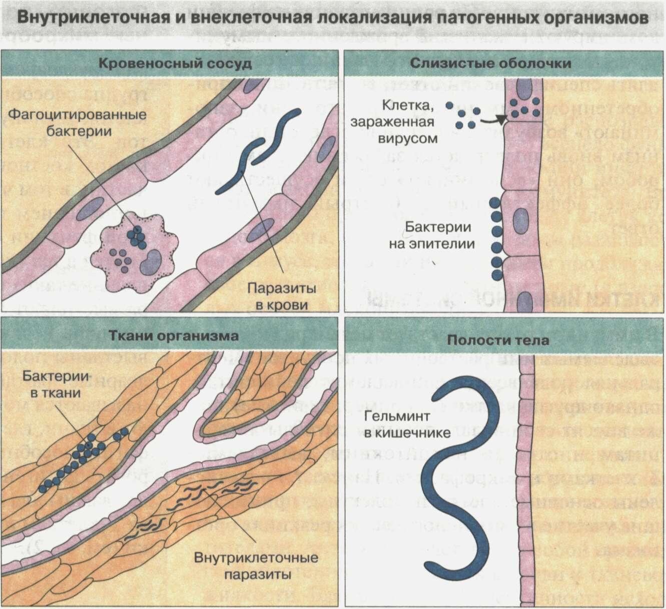 Общие сведения об иммунной системе Рис. 2