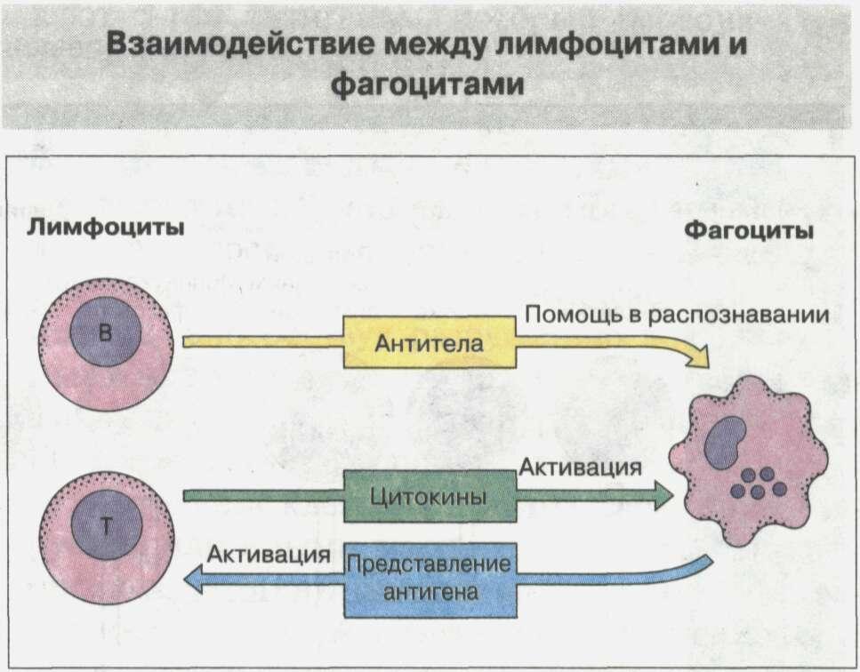 Общие сведения об иммунной системе Рис. 3