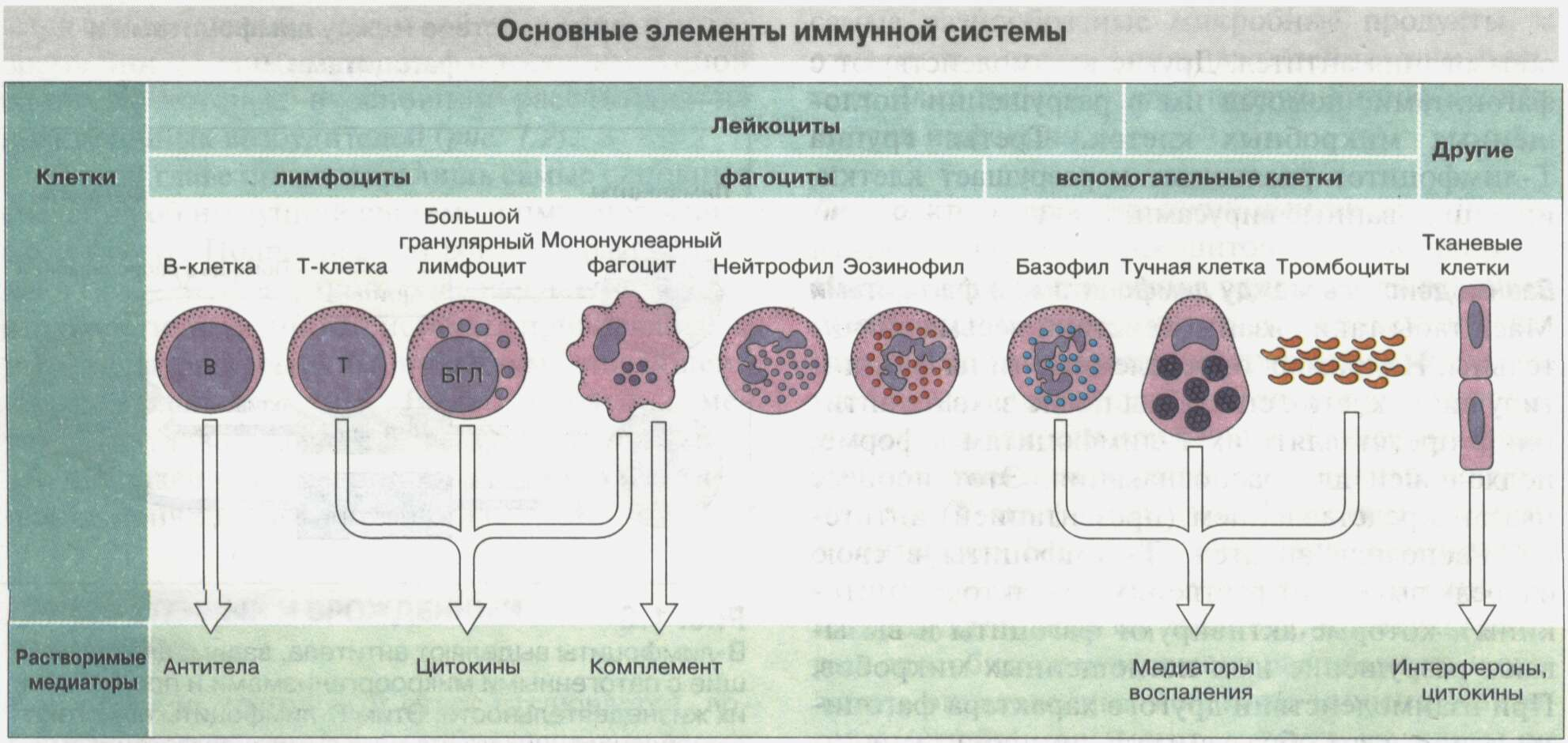 Общие сведения об иммунной системе Рис. 4