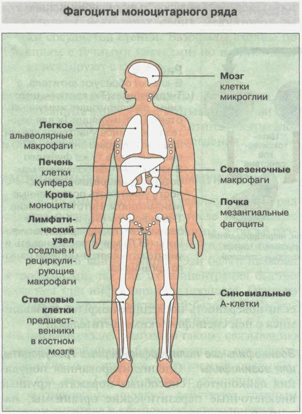 Общие сведения об иммунной системе Рис. 5
