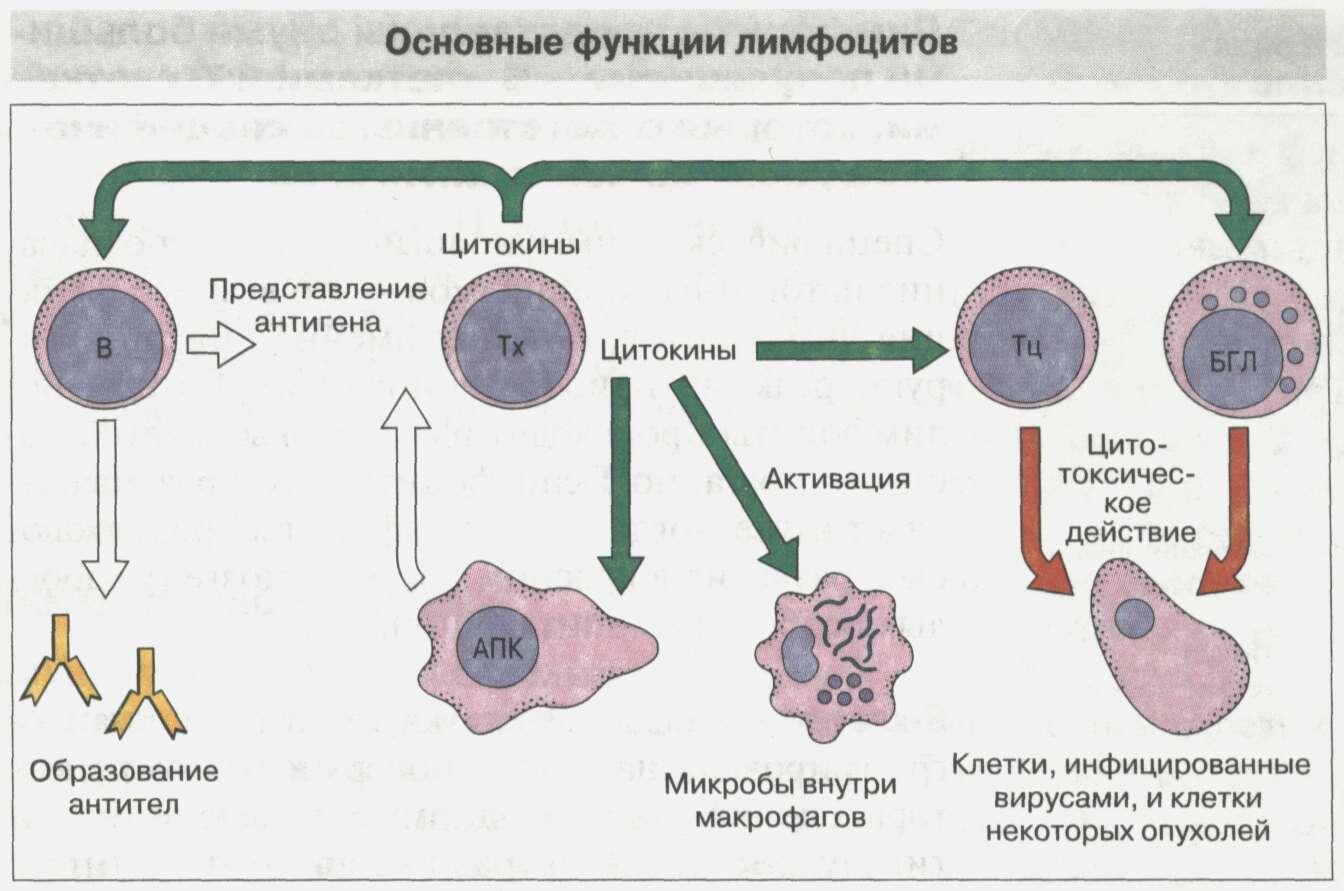 Общие сведения об иммунной системе Рис. 6