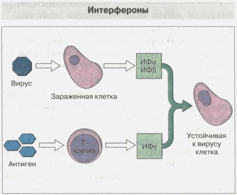 Общие сведения об иммунной системе Рис. 8