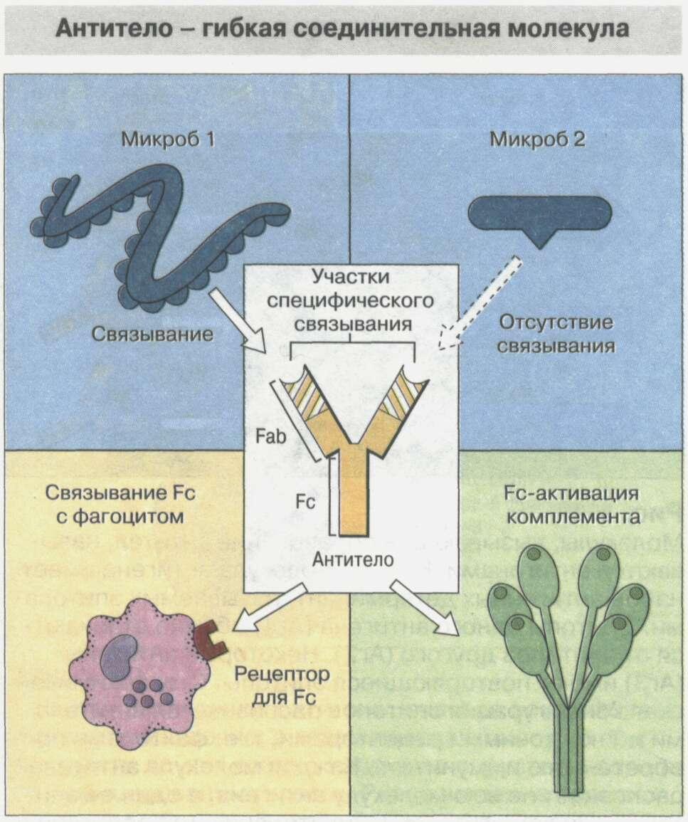 Общие сведения об иммунной системе Рис. 9